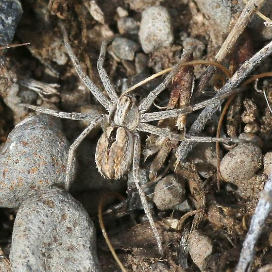 spider, pale gray & brown - Thanatus