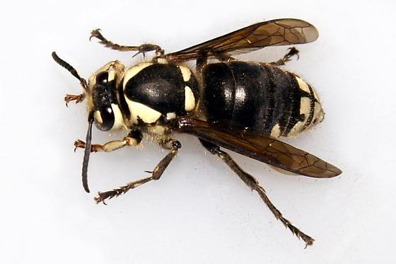 Bald-Faced Hornet Queen - Dolichovespula maculata - female