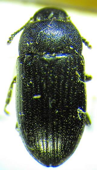 Teneb - Blapstinus substriatus