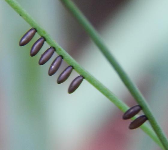 # 100 - Crioceris asparagi