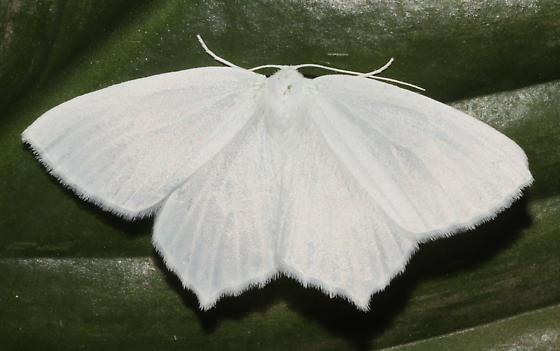 Geometridae, Snowy Geometer, dorsal - Eugonobapta nivosaria