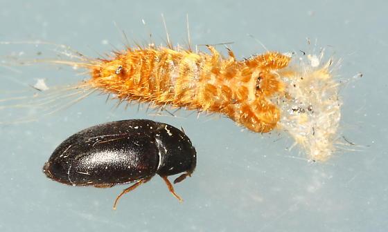 Black Carpet Beetle - Attagenus unicolor - male