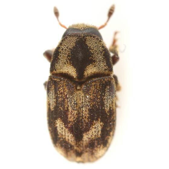 Beetle - Hylesinus aculeatus