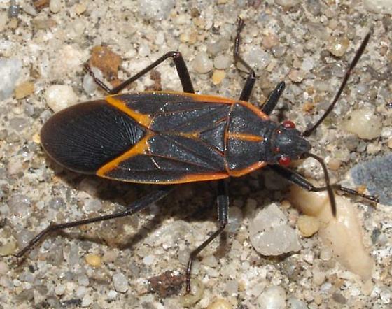 Bug with red eyes - Boisea trivittata