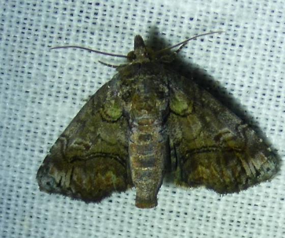 Paectes perhaps pygmaea? - Paectes pygmaea