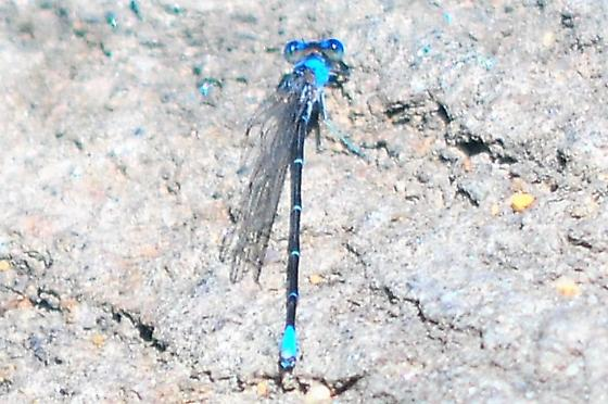 damsel fly? - Argia apicalis - male
