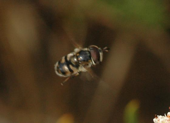 Big headed fly - Copestylum marginatum