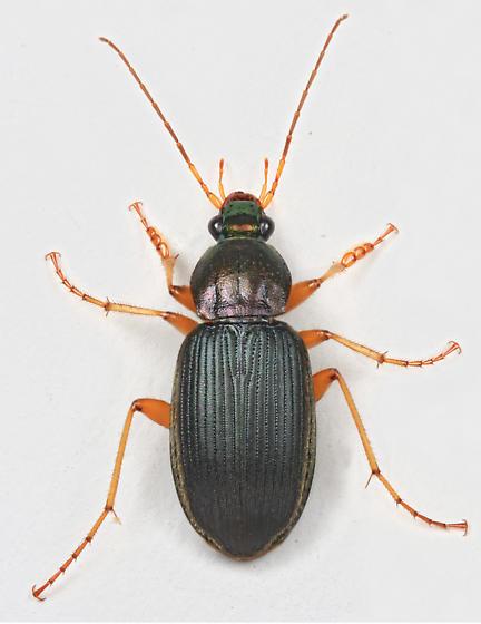 BG2251 E4454 - Chlaenius tricolor - male