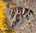 Mountain Butterfly - Vanessa virginiensis