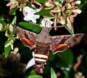 Hummingbird Moth - Amphion floridensis