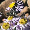 Exoprosopa from east of the Sierra Nevada - Exoprosopa caliptera