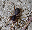 Spider - Falconina gracilis