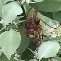 European Hornet- Vespa crabro - Vespa crabro - female