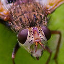 Fly - Epalpus signifer