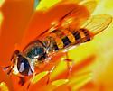 Hoverfly (Eupeodes sp.?) - Eupeodes