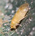 bark louse??? - Valenzuela subflavus - female