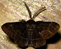 oak beauty - Phaeoura quernaria