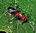 Allegheny Mound Ant - Formica exsectoides