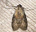 Moth - Pococera expandens