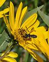 Leaf-cutter Bee with elongate abdomen - Megachile