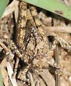 Hopper nymph  - Spharagemon cristatum