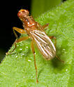 Syrphidae?