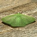 Moth - Synchlora frondaria - female