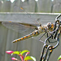 Dragonfly - Baskettail?? - Epitheca