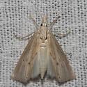 Moth unknown - Xubida linearellus