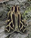 Apantesis williamsii - male