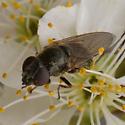 Cheilosia? - Cheilosia - female