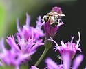 Sweat Bee - Halictus poeyi