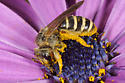 Unknown Bee - Halictus farinosus - female