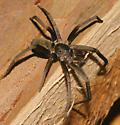 Spider ID - Kukulcania hibernalis - female