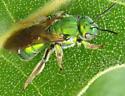 Green bee June 14 - Agapostemon - female