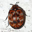 Varied Carpet Beetle - Anthrenus verbasci