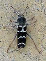 Beetle ID? - Neoclytus caprea