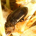 Lawn beetle, February thaw - Amara