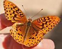 Greater Fritillary - Speyeria cybele - male