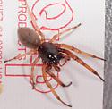 Smal Red Spider - Trachelas tranquillus