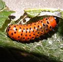 grub or caterpillar - Dysodia oculatana