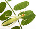 Oecanthus fultoni - female
