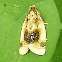 Bird Dropping Moth - Clepsis melaleucanus