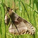 Antheraea - Antheraea polyphemus