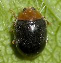 Dusky Lady Beetle - Scymnus kansanus