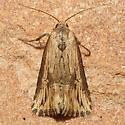 Moth - Crambodes talidiformis