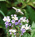 Bombyliidae? - Systoechus candidulus - male