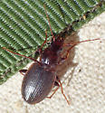 Leaf litter carabid - Tanystoma striatum