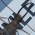 Large Mystery Bug #2 - Corydalus cornutus - male