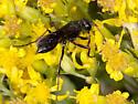 Thread-waisted Wasp - Family Sphecidae
